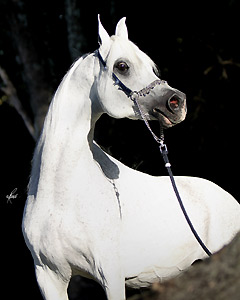 World Champion Straight Egyptian Stallion Hadidi